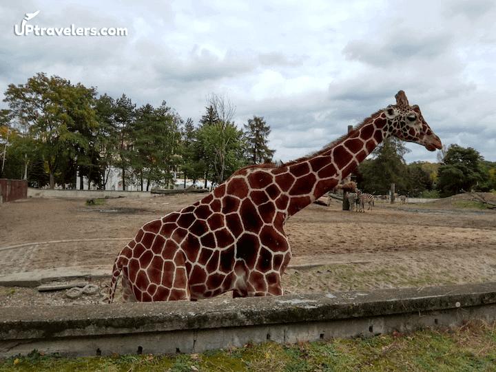 Жираф во Вроцлавском зоопарке